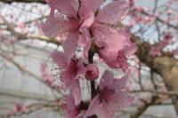 日本一早いハウス桃宴